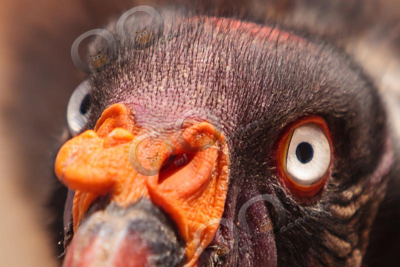 king vulture  sarcomamphus papa-9193 - BoP from around the world