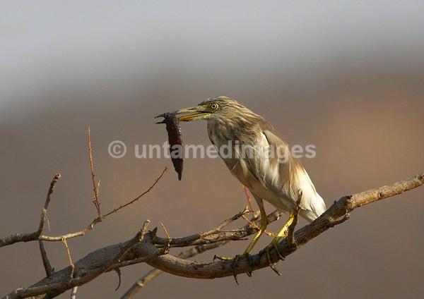 Striated Heron - India
