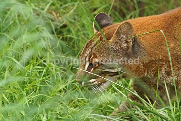 Golden Cat - Cat Survival Trust - Big and Small Wild Cats