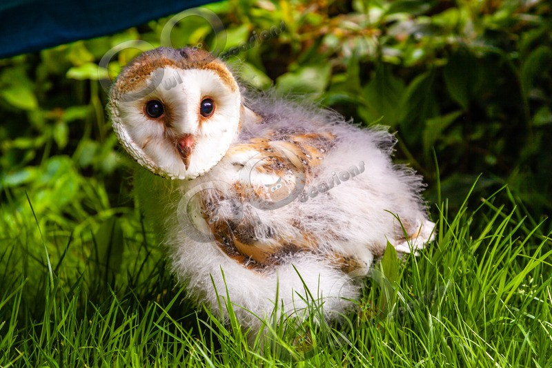 barn owl tyto alba-0089 - BoP from around the world