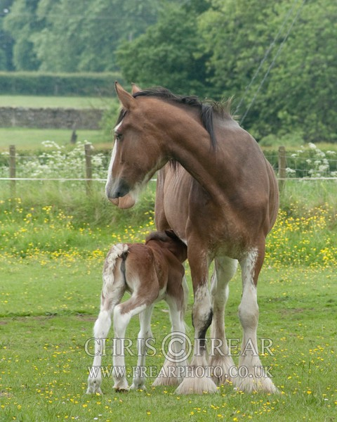 ryecroft-12 - Clydesdales 2013 Include Foals