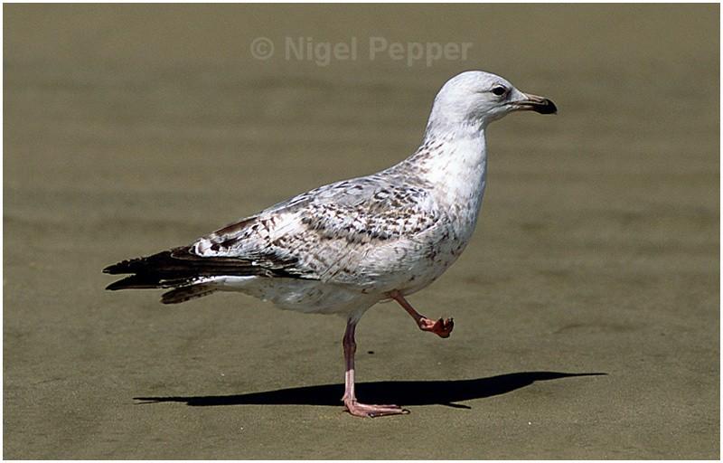 Early May 2004 (2) - Leggy the Herring Gull