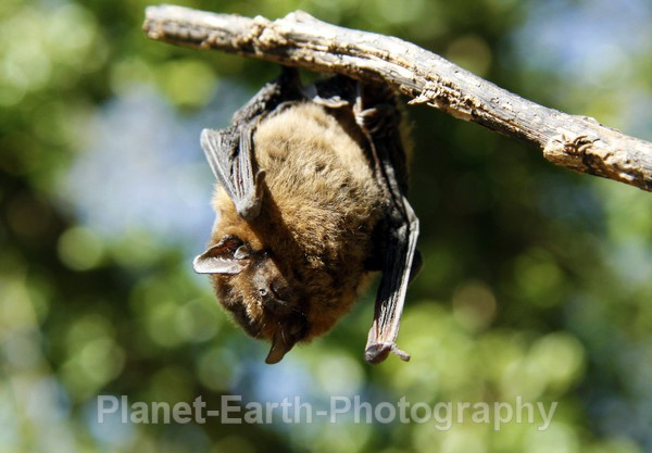 Pipistrelle 2 - UK Wildlife