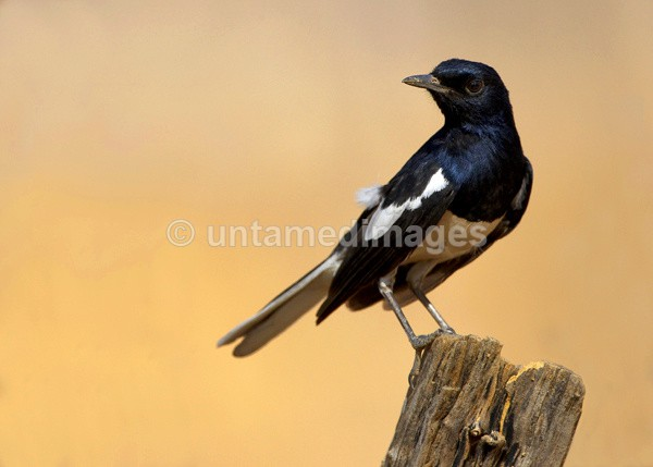 Oriental Magpie Robin - India