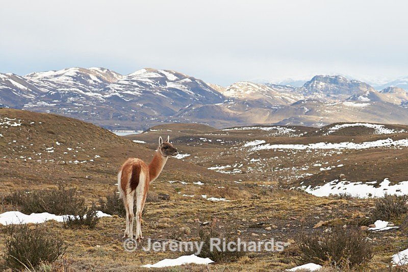 Guanaco in the Torres del Paine - Wildlife of Chile