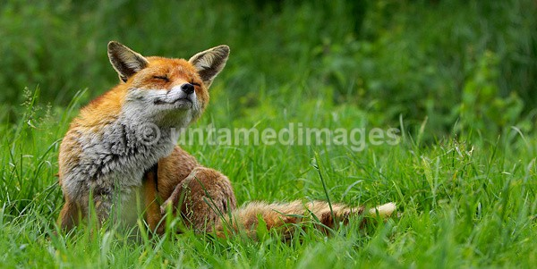 Red Fox - United Kingdom