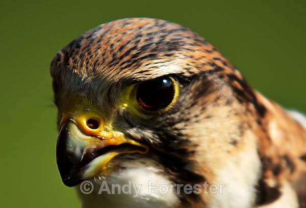Falcon: Face to Face - Falconry