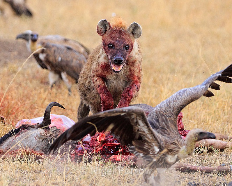 Spotted Hyena chases a White-backed Vulture away from a carcass - Hyena