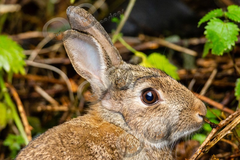 wild rabbit Oryctolagus cuniculus-0056 - UK Wildlife