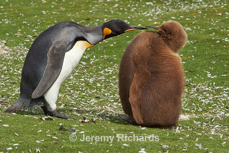 King Penguin Adult and Chick - Volunteer Point