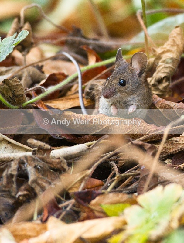 20101113-3216 - Wood Mouse