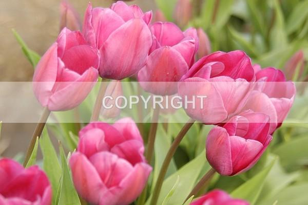Washington Tullips - The Flower Shop
