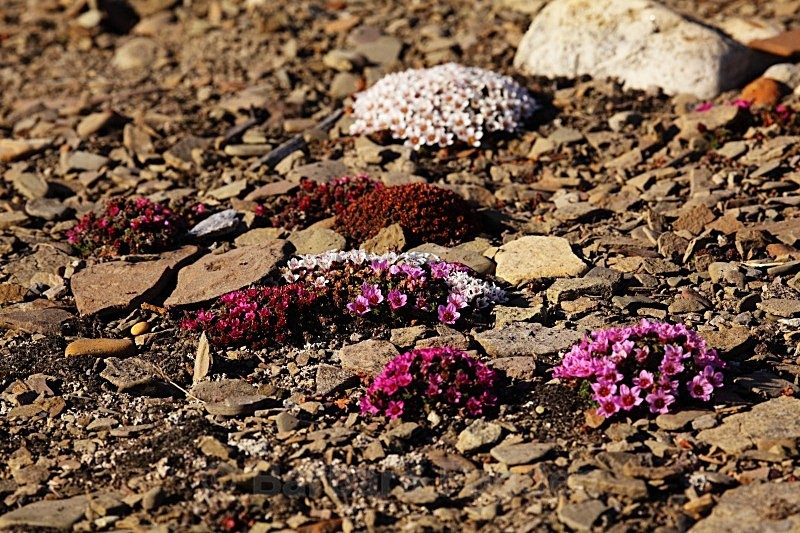 Moss Campion 7396 - Colours of Svalbard