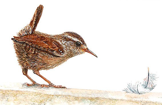 Wren and feather - Birds