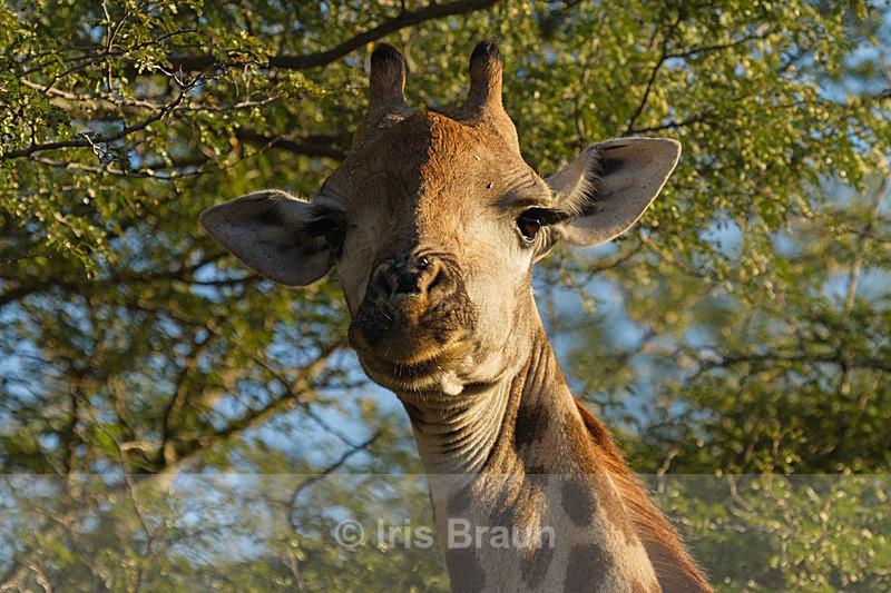 Selfconfident - Giraffe
