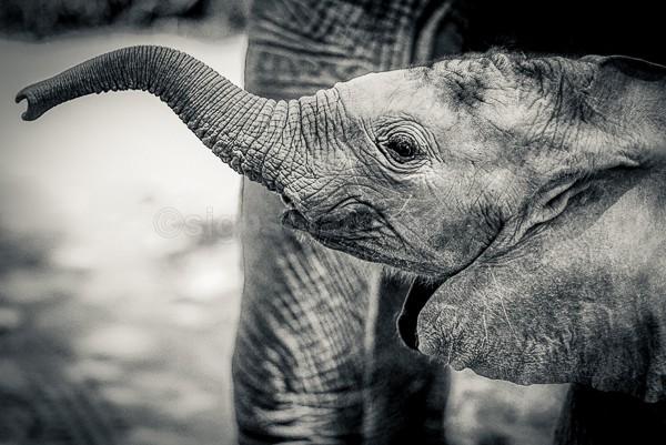 Baby Elephant, Kenya