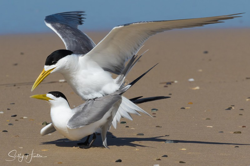 Breeding Pair 3 - Crested Terns 2018 (For Sale)