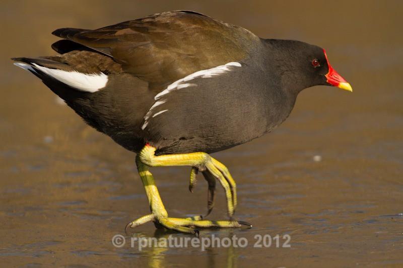 Moorhen - Gallinula chloropus RPNP0691 - Birds