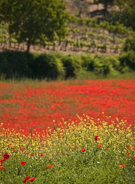 poppies and vineyard - Tuscany