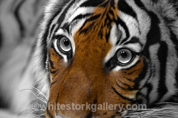 Tiger - Wildlife and Animals