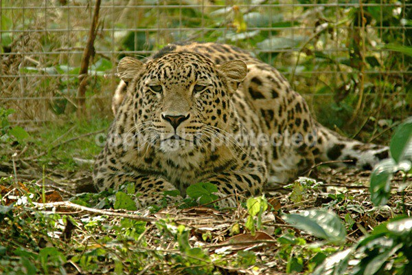 Persian Leopard - Cyrus (Rutland Falconry & Owl Centre) - Persian Leopards