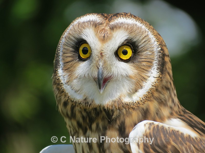 Short-eared Owl - Birds