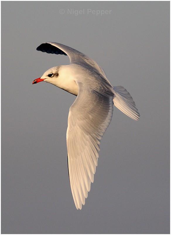 Adult Med Gull ( 1 ) - Gulls