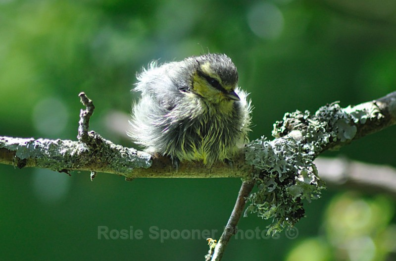 Young Bluetit after a bath - Birds and Wildlife