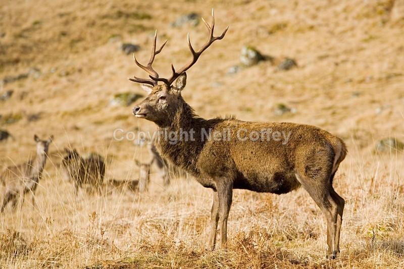 Royal Stag in Glen Etive, Highland - Wildlife