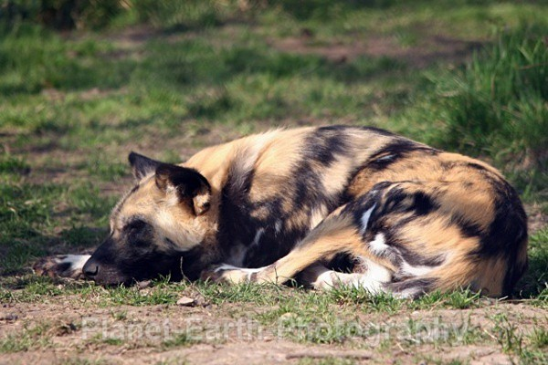 African Wild Dog 9 - African Wild Dogs