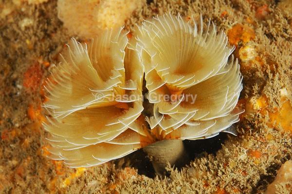 Bispira volutacornis - Worms (from various groups)