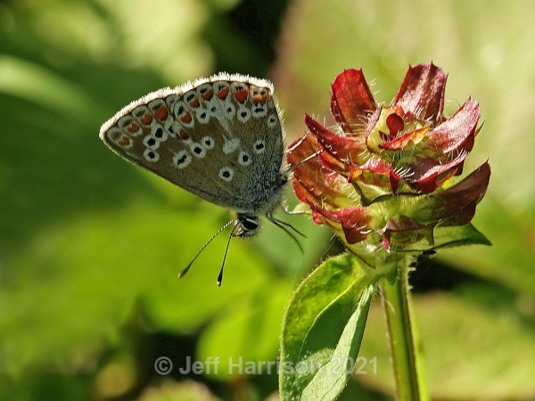 Brown Argus Butterfly (image Butt 001) - Butterflies & Moths