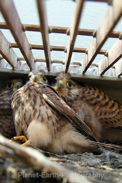 Nesting Kestrels 3 - UK Wildlife