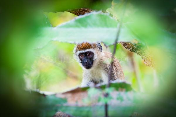 Vervet Monkey Meru, Kenya