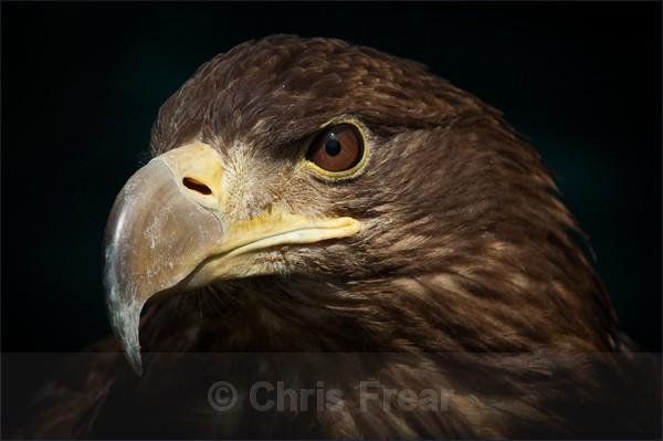Portrait of a Sea Eagle - Animals/ Wildlife