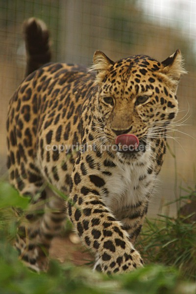 Amur Leopard - Star - Cat Survival Trust - Big and Small Wild Cats