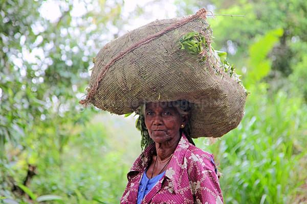 Tea plantation worker, Ella Sri Lanka - Sri Lanka wildlife, people & places