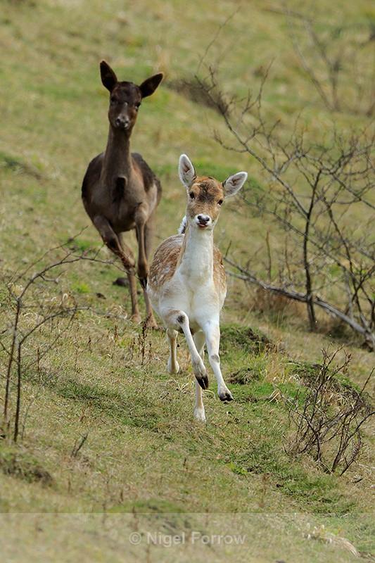 Roe Deer running at Linkey Down, Aston Rowant - Deer