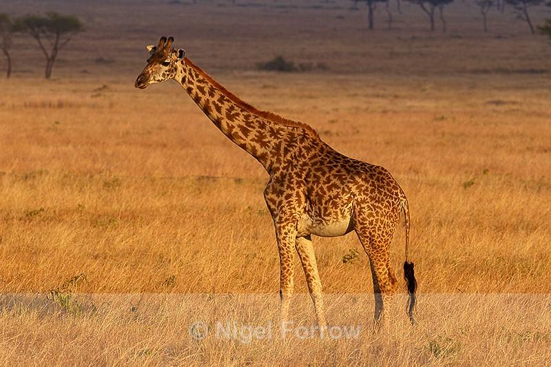 Giraffe in golden late afternoon sun - Giraffe