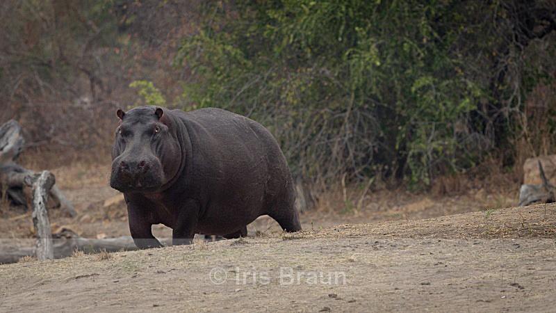 Hippo Bull - Hippo
