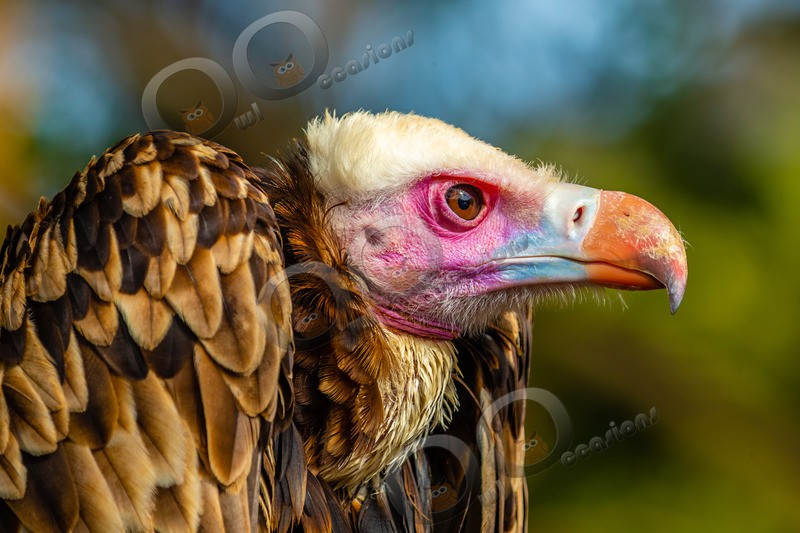 white-headed vulture Trigonoceps occipitalis-7410 - BoP from around the world