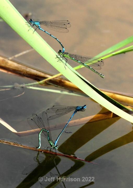 4 Damselflies (image Dams 02) - Dragonflies & Damselflies