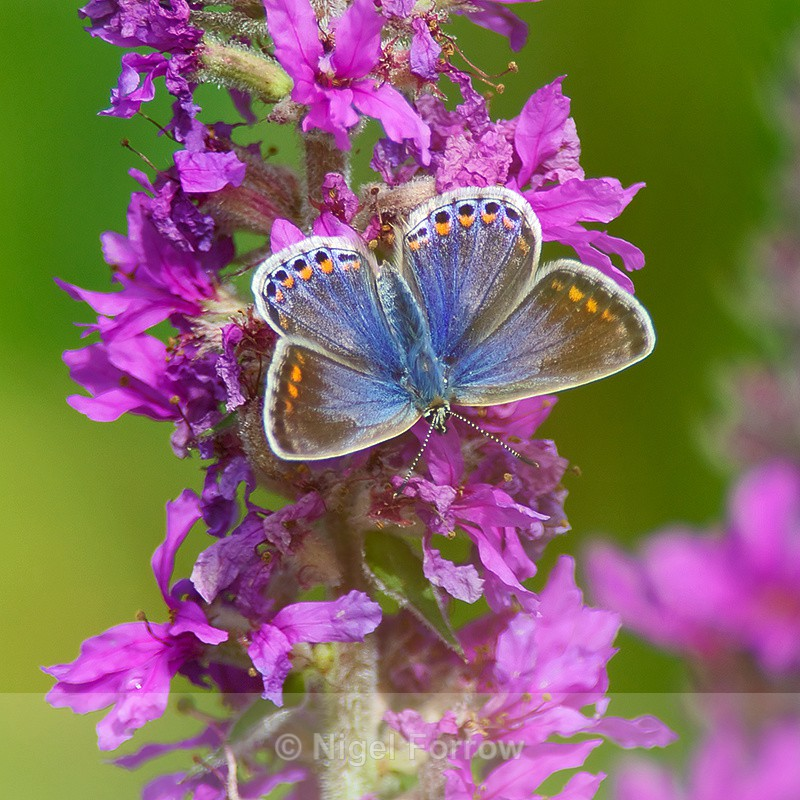 Common Blue (female) on Purple Loosestrife - INSECTS