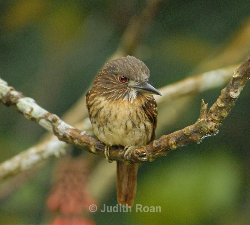 White-whiskered Puffbird - Birds from Belize and Guatemala