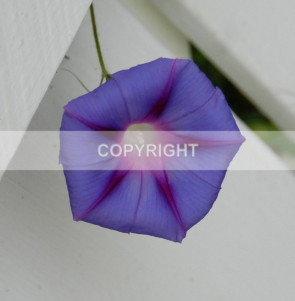 Morning Glory - ADSC-0024 - The Flower Shop