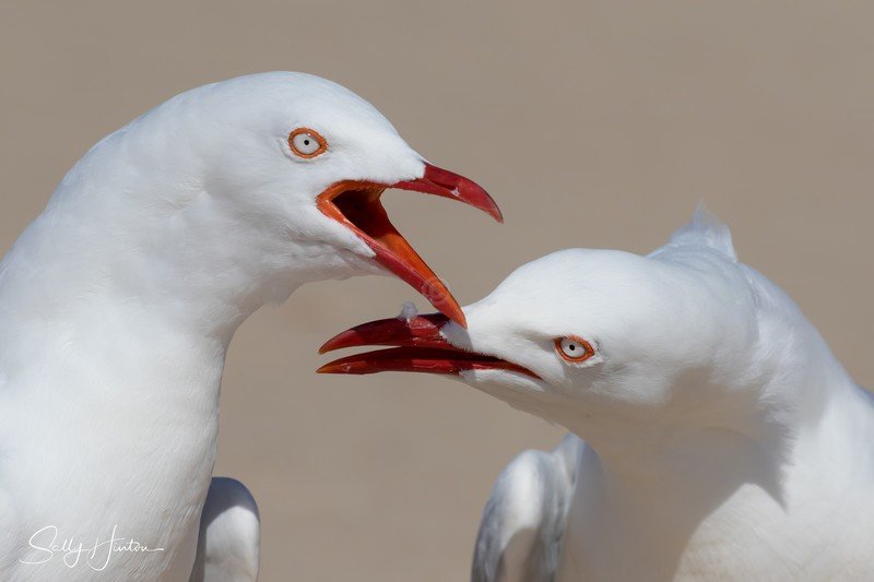 Gull Chat - Silver Gulls 2018 (For Sale)