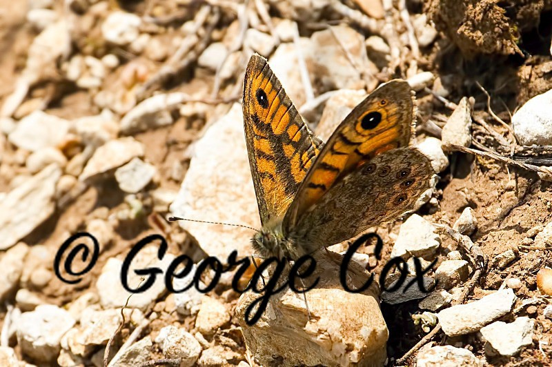 Wall Brown - Vercors Butterflies