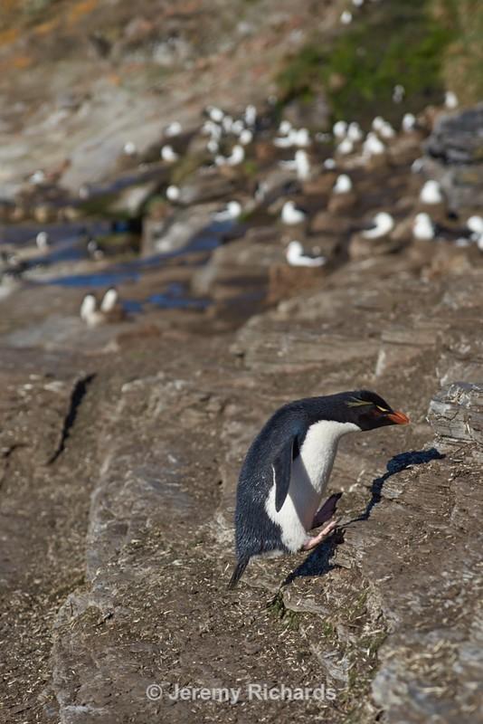 Rockhopper Penguin - Saunders Island