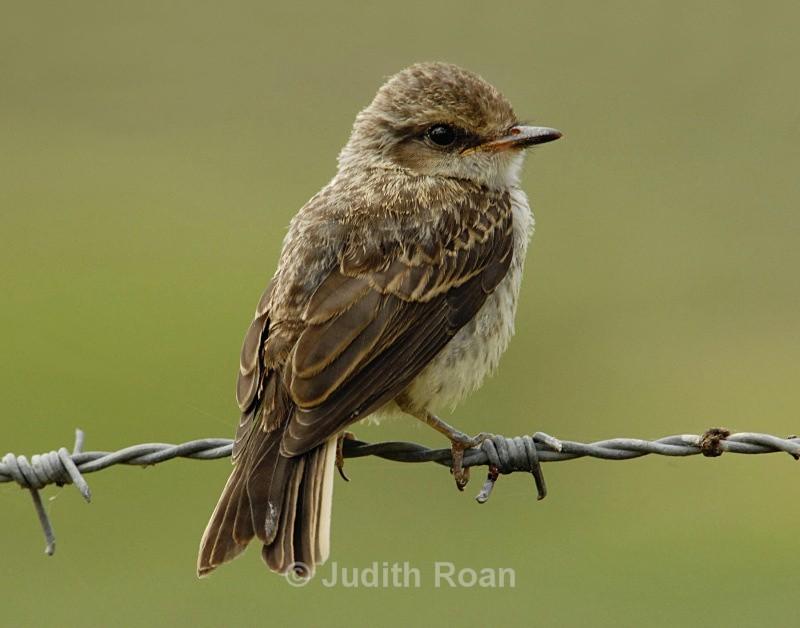 Vermillion Flycatcher juvenile - Birds from Belize and Guatemala