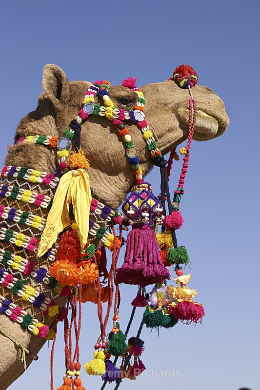 Decorated Camel - India